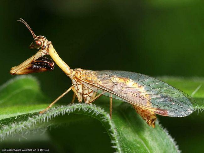 Mantispy - insekte sa grabežljive prirode.
