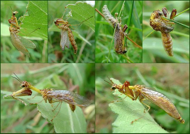 Mantispy dobro leti.