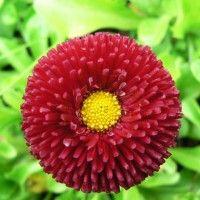 Daisy cvijet