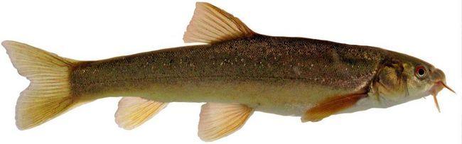 Riba Marinka (Schizothorax).