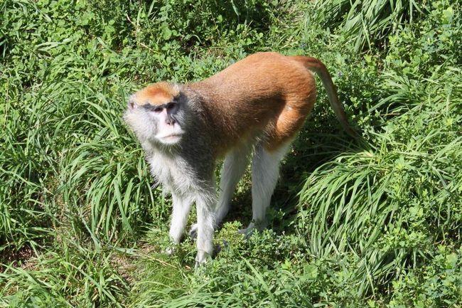 Эти обезьяны прекрасно и быстро бегают.