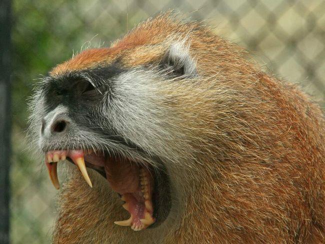 Мартышка-гусар - всеядное животное.