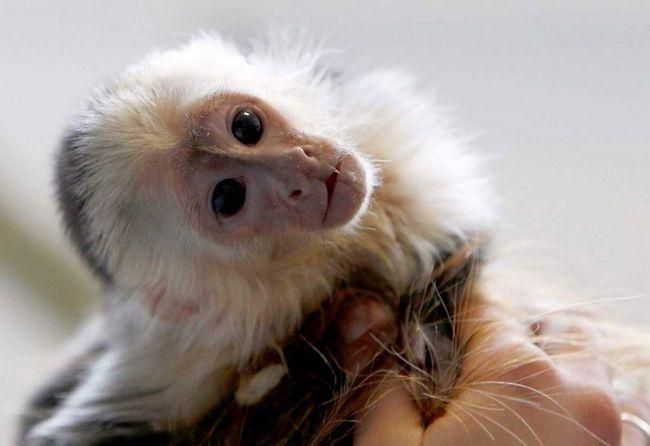 Majmun otvorio njen vlasnik cache u čast Nove godine.