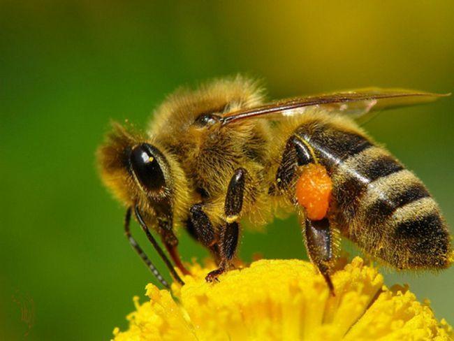 Медоносная пчела (лат. Apis mellifera)