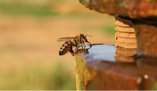 Медоносная пчела пьет воду.