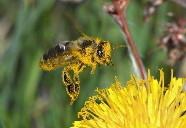 Пчелы собирают пыльцу для мела и одновременно опыляют растения.