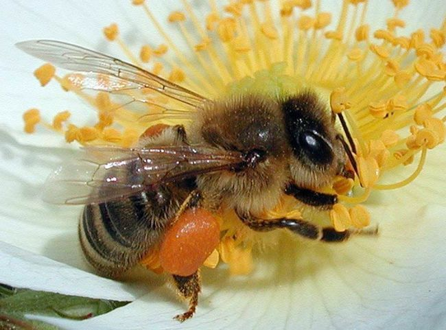 Медоносная пчела собирает пыльцу.