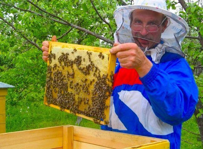 Мед - ценный продукт медоносных пчел.