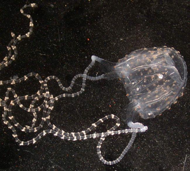 Medusa 95% vode i da su želatinozne tijelo s pipcima.