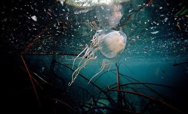 Meduza kreće kroz smanjenje tijelo.