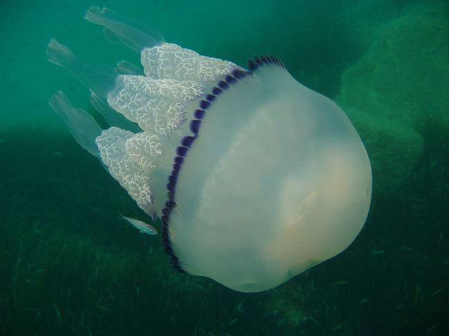 Medusa Rhizostoma (Rhizostoma Pulmo)