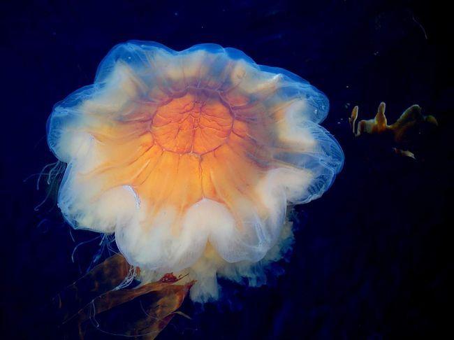 Lví hříva medúzy má velmi atraktivní vzhled.