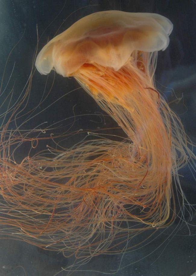 Lví hříva medúzy je v neustálém pohybu.