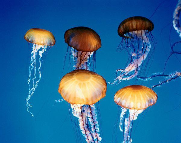 """Nejslavnější a nejvíce nebezpečné medúzy - Australian """"voda Wasp"""""""