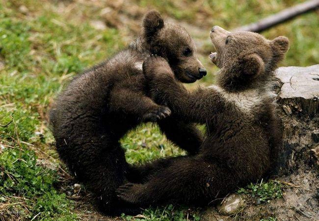 Medvjedi prazni krompir.