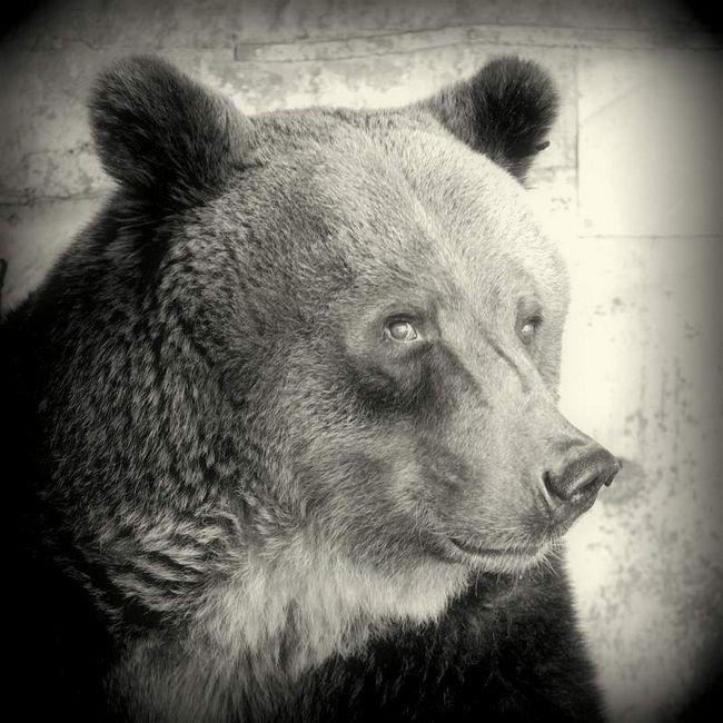 Hnědý medvěd ze zaplavené zoo nepřežila poté, co byl zraněn.