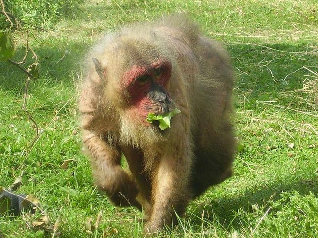Медвежий макак (Macaca arctoides).