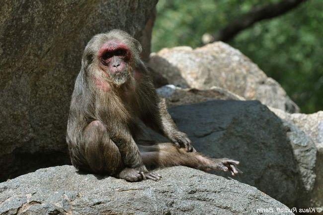 Эти обезьяны - всеядные животные.