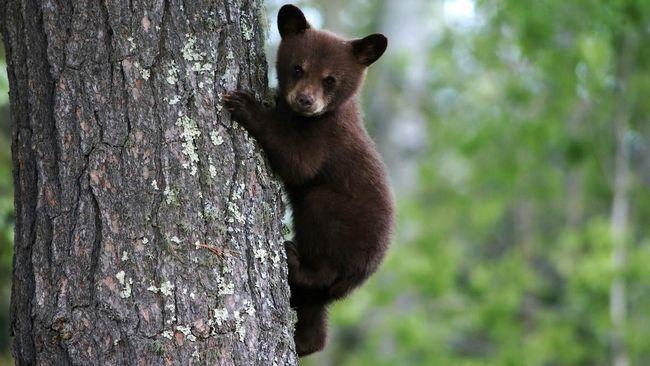 Teddy Bear sjedi na drvetu, kada je pronašao slučajni prolaznik.