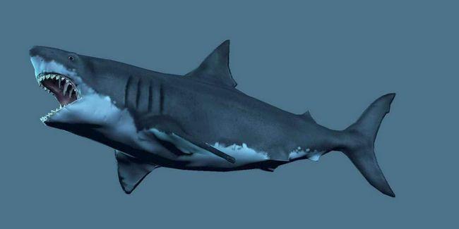 Акула мегалодон - предшественник современных акул.