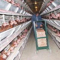 Механизация сбора, обработки и упаковки яиц