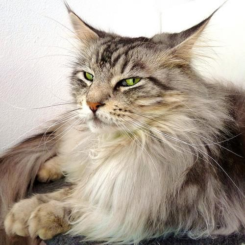 Мейн кун (maine coon) или мейнская енотовая кошка