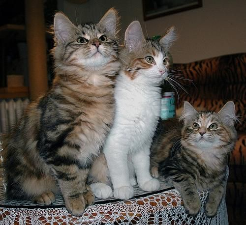 Maine coon (Maine coon)