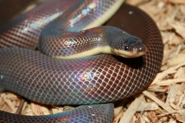 Meksički zemljani piton zmija ili dvobojan (Loxocemus bicolor).