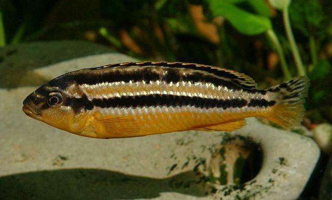 Меланохромис золотой (Melanochromis auratus).