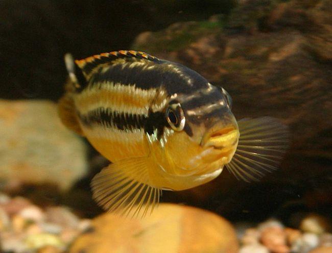 Золотой меланохромис получил свое название за желтый окрас тела.