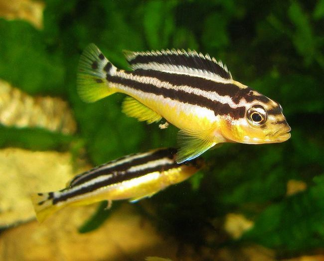 Меланохромисы - частые жители домашних аквариумов.
