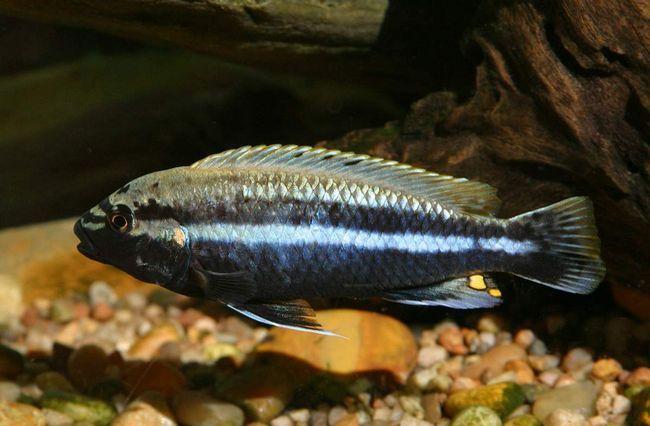 При содержании в аквариуме следует учитывать недружелюбный характер этого вида рыбок.