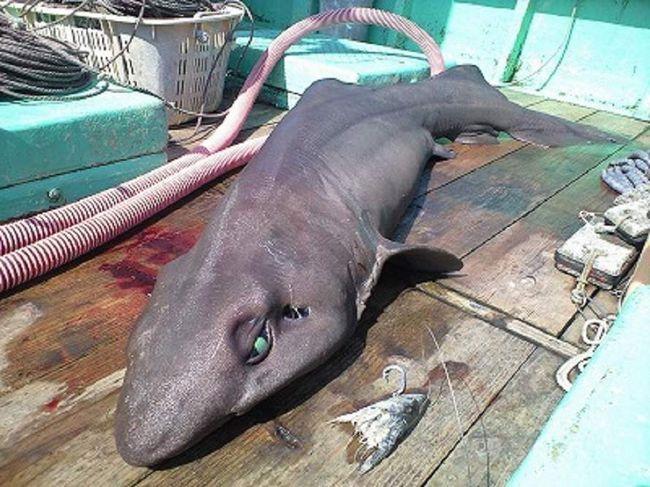 Крупное тело, очень большая, наполненная жиром печень, мягкая мускулатура, плавники и кожа мелкозубых акул дают основание предположить, что эти рыбы ведут малоподвижный образ жизни.
