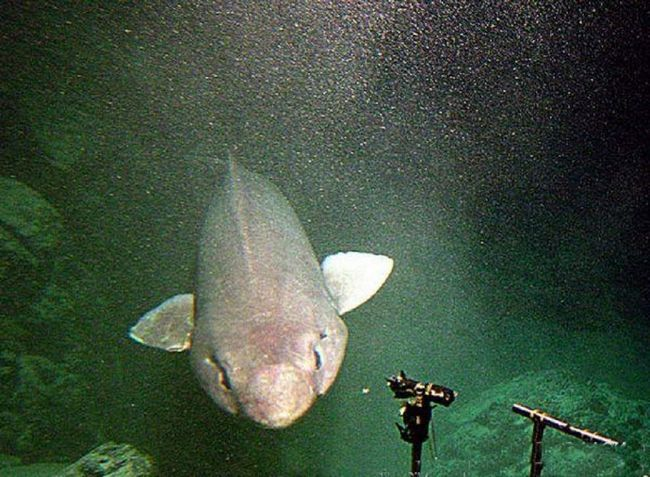 Большая пасть мелкозубой акулы позволяет ей проглатывать предметы большого размера.