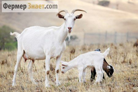 Методы определения стельности козы