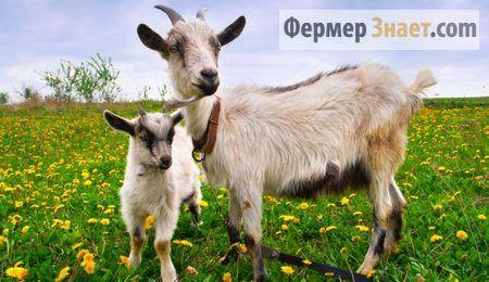 Секреты и новшества в разведении домашних коз