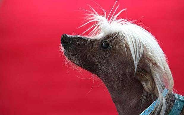 Спам-О-Рама китайская хохлатая собака