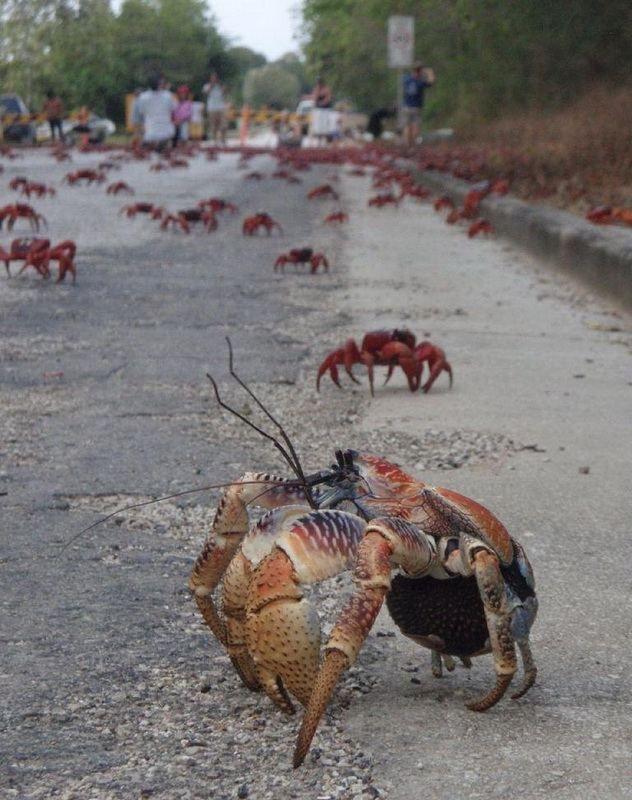 Migracija crvene zemlje na Božićni otok rakova