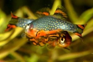 Микрорасбора галактика — маленькая аквариумная рыбка