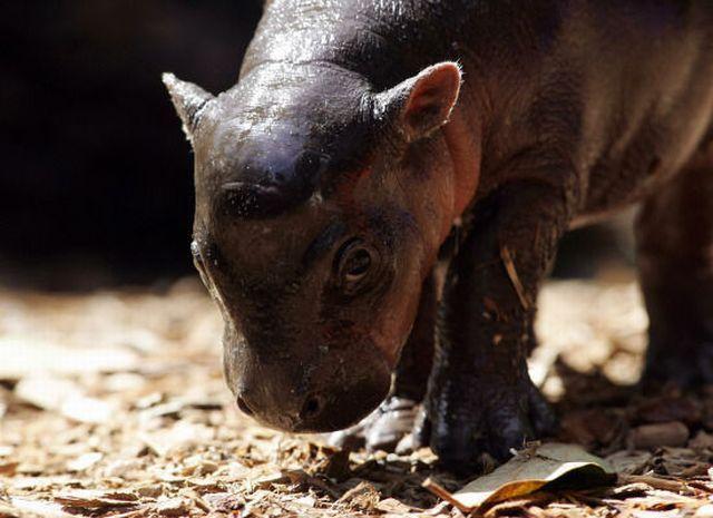 Slatka beba pygmy nilskog konja