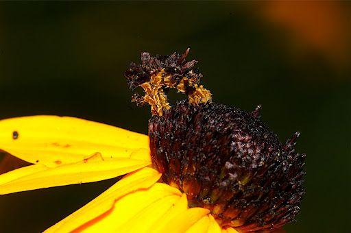 Мимикрия гусеницы Пяденицы