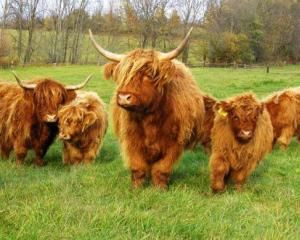 Мини коровы хайленд