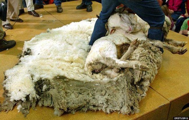 To je to, čo bolo na márnotratného oviec po strihaní.