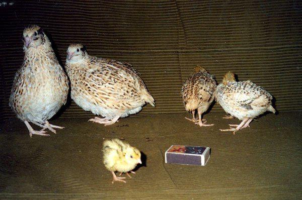 Samice a kuřecí mandžuský druh
