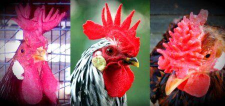 Мясные и мясо-яичные породы кур