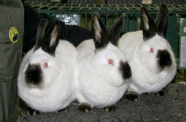 Мясные породы кроликов - калифорнийцы