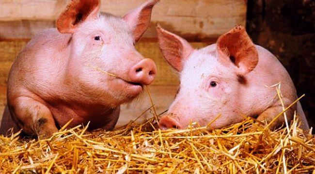 Poltavskaja mjasnaja poroda svinej