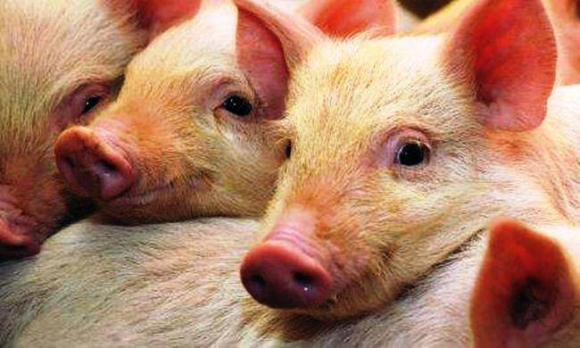Mjasnye porody svinej