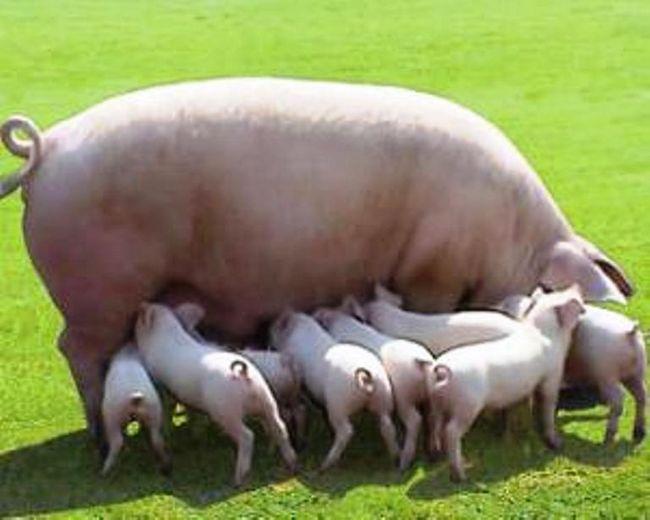Belorusskaja mjasnaja poroda svinej
