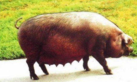 Mäso plemeno ošípaných